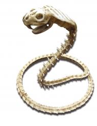 Esqueleto de cobra 50 x 42 cm Halloween